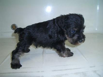 ミニチュアシュナウザーの子犬販売No.200909052-1