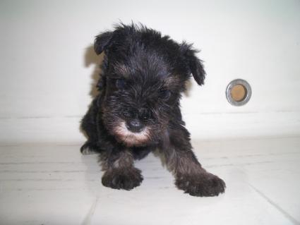 ミニチュアシュナウザーの子犬販売No.200909053