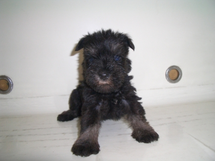 ミニチュアシュナウザーの子犬販売No.200909054