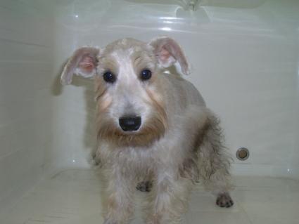 ミニチュアシュナウザーの子犬販売No.200905162