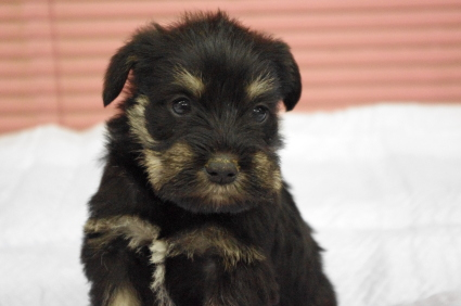 ミニチュアシュナウザーの子犬販売No.200912131