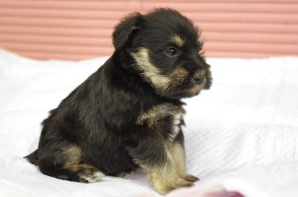 ミニチュアシュナウザーの子犬販売No.200912131-1