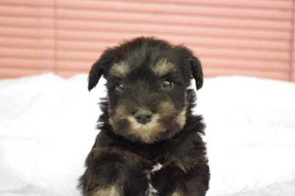 ミニチュアシュナウザーの子犬販売No.200912132