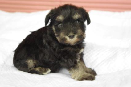 ミニチュアシュナウザーの子犬販売No.200912132-1