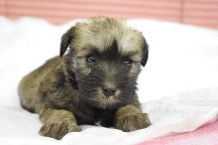 ミニチュアシュナウザーの子犬販売No.200912133