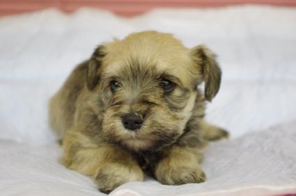 ミニチュアシュナウザーの子犬販売No.200912134