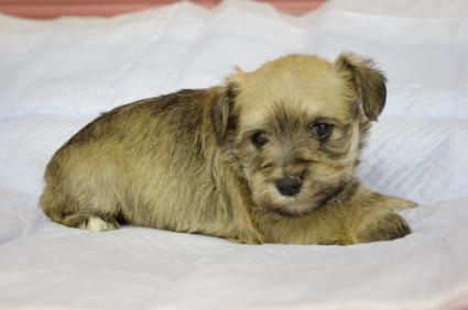 ミニチュアシュナウザーの子犬販売No.200912134-1
