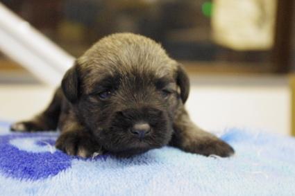 ミニチュアシュナウザーの子犬販売No.201002183