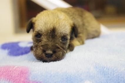 ミニチュアシュナウザーの子犬販売No.201002184