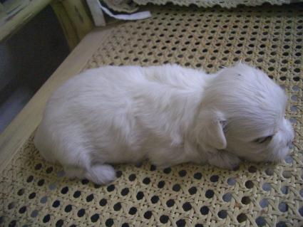 マルチーズの子犬No.200905261