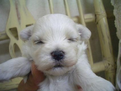 マルチーズの子犬No.200905263