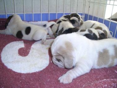 プチバセットグリフォンバンデーンの子犬の写真