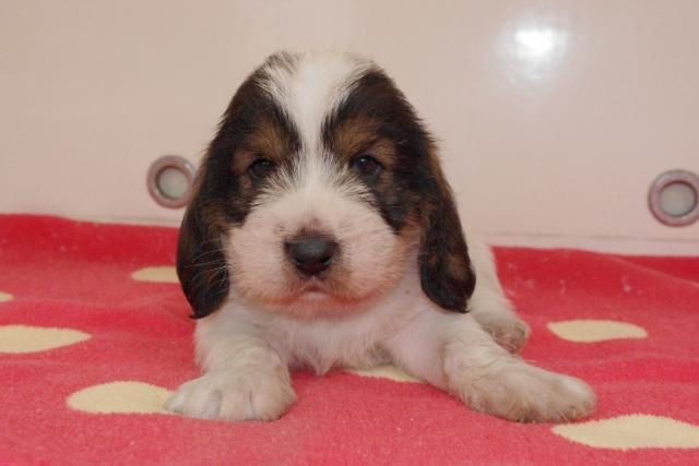 プチバセットグリフォンバンデーンの子犬