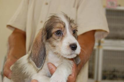 プチバセットグリフォンバンデーンの子犬No.200806305