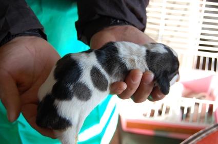 プチバセットグリフォンバンデーンの子犬No.200901085-2