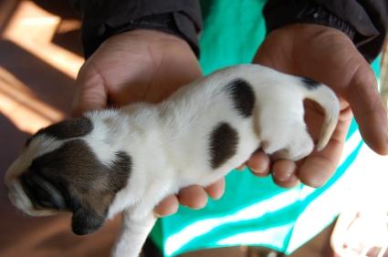 プチバセットグリフォンバンデーンの子犬No.200901081-2