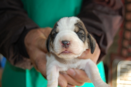 プチバセットグリフォンバンデーンの子犬No.200901082