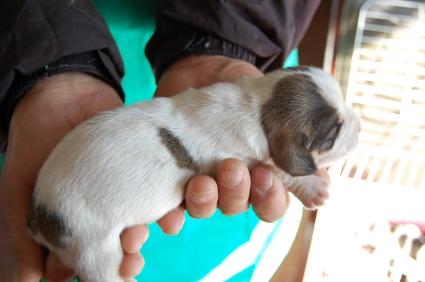 プチバセットグリフォンバンデーンの子犬No.200901082-2