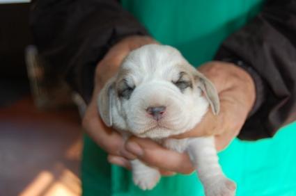 プチバセットグリフォンバンデーンの子犬No.200901083