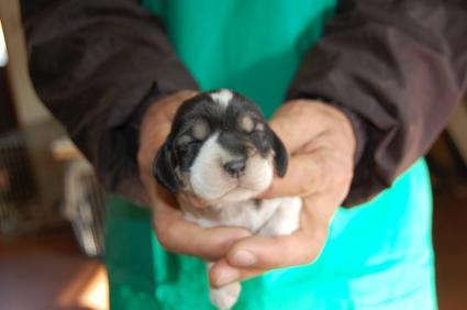 プチバセットグリフォンバンデーンの子犬No.200901085