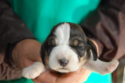 プチバセットグリフォンバンデーンの子犬No.200901081