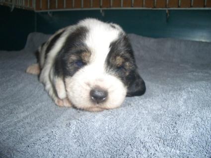 プチバセットグリフォンバンデーンの子犬No.200906221