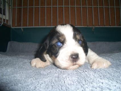 プチバセットグリフォンバンデーンの子犬No.200906222