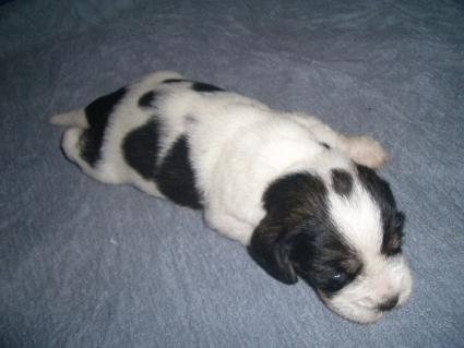 プチバセットグリフォンバンデーンの子犬No.200906222-2