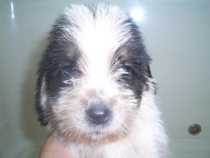 プチバセットグリフォンバンデーンの子犬No.200906281