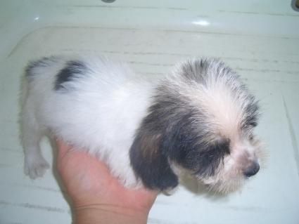 プチバセットグリフォンバンデーンの子犬No.200906281-2
