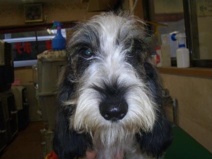 プチバセットグリフォンバンデーンの子犬No.20090717