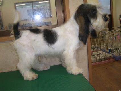 プチバセットグリフォンバンデーンの子犬No.20090717-2