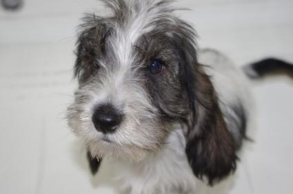 プチバセットグリフォンバンデーンの子犬No.20090913