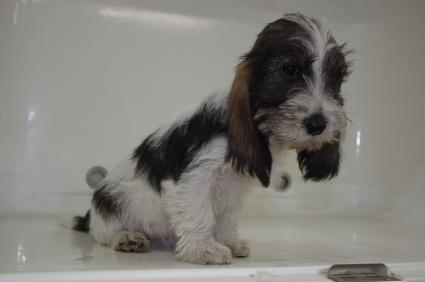 プチバセットグリフォンバンデーンの子犬No.20090913-2