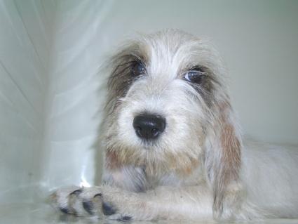 プチバセットグリフォンバンデーンの子犬No.200906282