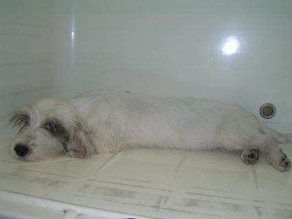 プチバセットグリフォンバンデーンの子犬No.200906282-2