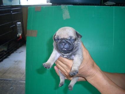 パグの子犬1