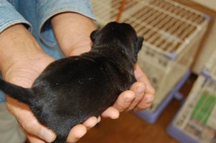パグの子犬販売No.200810151-2