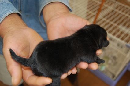 パグの子犬販売No.200810152-2