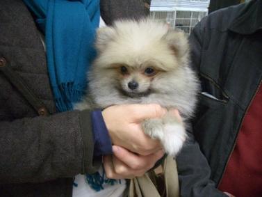 ポメラニアンの子犬をご購入のi様