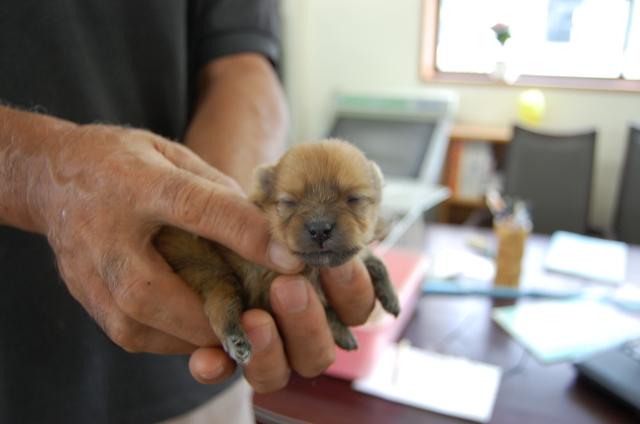 ポメラニアンの子犬2