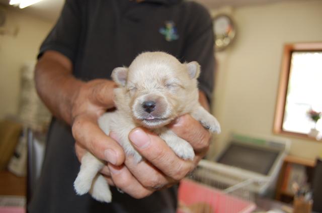 ポメラニアンの子犬3