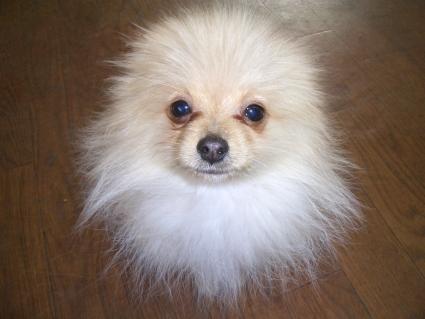 ポメラニアンの子犬1
