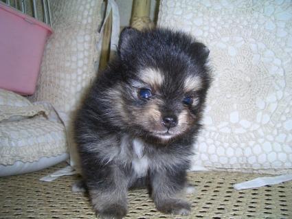 200906071ポメラニアンの子犬No.200906071-1