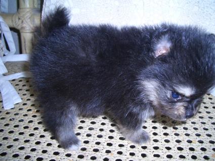 ポメラニアンの子犬No.200906071-1
