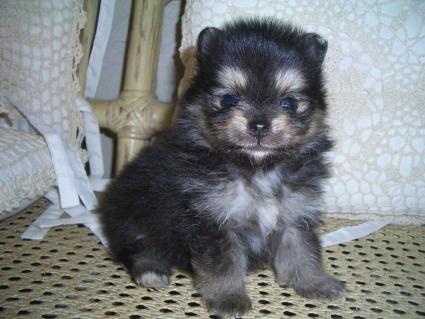 200906072ポメラニアンの子犬No.200906071-1