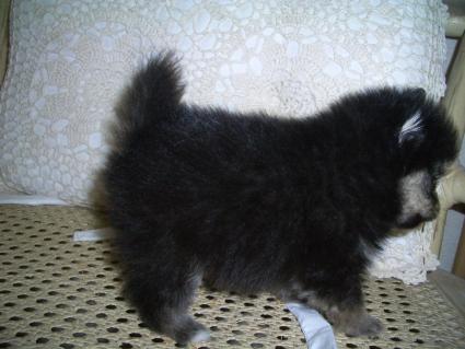 ポメラニアンの子犬No.200906072-1