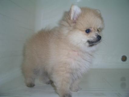 ポメラニアンの子犬No.200905061-1