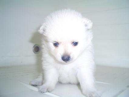 200908071ポメラニアンの子犬No.200908071-1