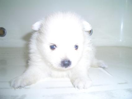 200908071ポメラニアンの子犬No.200908072-1